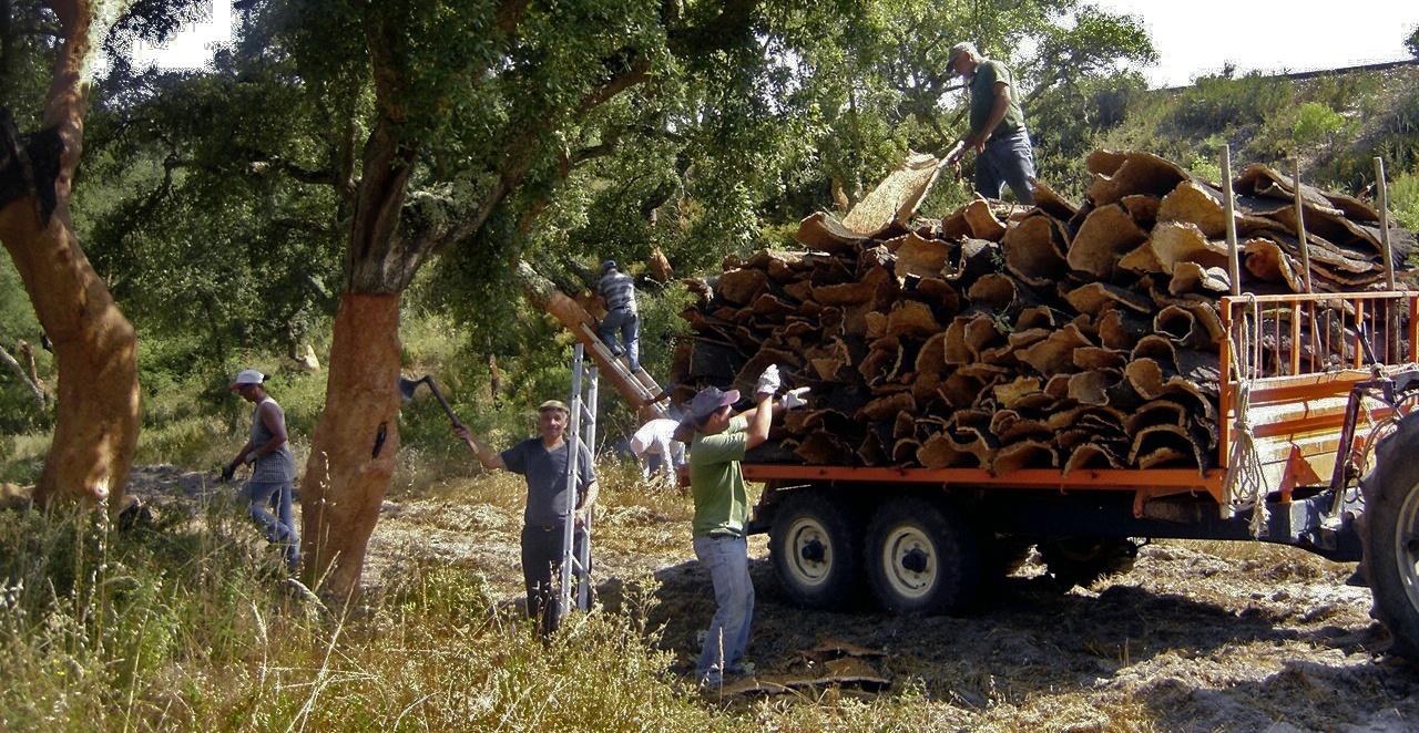 cork-harvest.jpg